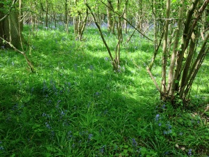 Bluebell wood near Holycombe